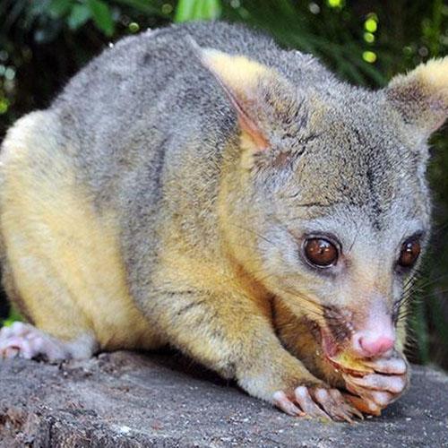 possum-in-home-garden-pest-control