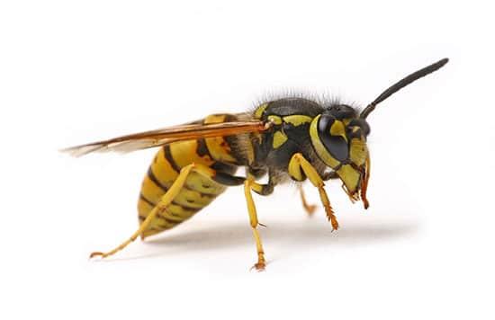 wasp-pest-control-sydney