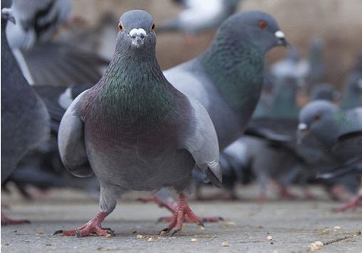 bird-pigeon-pest-control