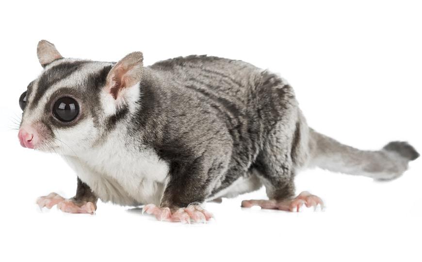 possum-control-sydney