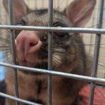 sydney possum control